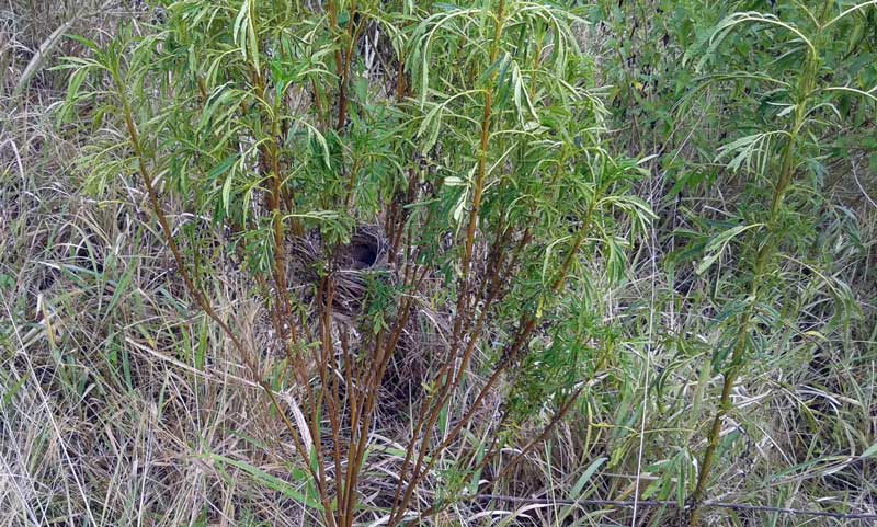 Dark-Capped Bulbul Pycnonotus tricolor nest in weeds at Mount Moreland  Conservancy