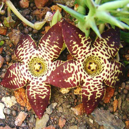 Orbea longidens. HLEM Hlengiwe Luthuli Environmental Management (Pty) Ltd Durban South Africa
